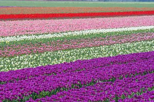 Dutch tulips in different colors