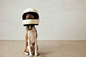 Cute dog in motorcycle helmet