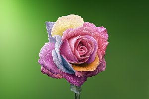 Rose Colorful