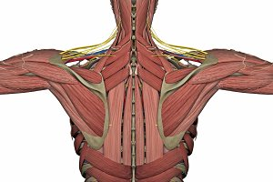 anatomy back without skin