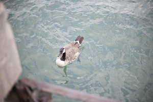 Chicago Goose