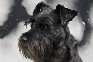 black schnauzer dog with graffiti background