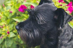 black schnauzer dog with flower background