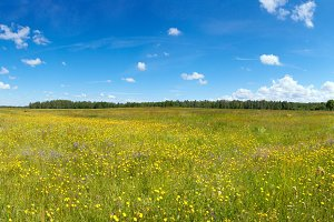 Summer meadow with wildflowers.