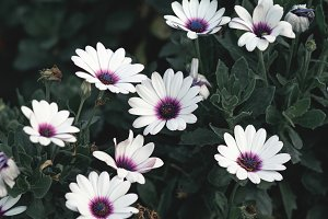 White and purple daisies close up
