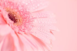 Romance Gerbera flower