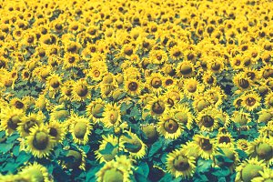Sunflowers Field view