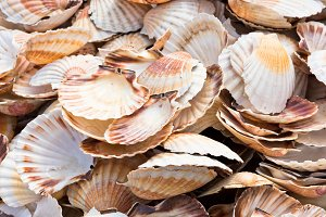 Heap of scallop shells