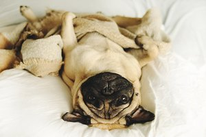 Funny pug lying in blancket