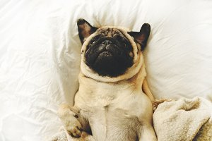 Funny pug lying in bed
