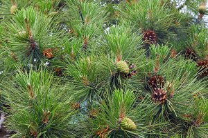 Pine twig tree with cone