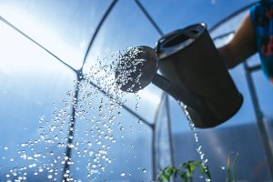 watering seedling tomato in in the greenhouse hand-pouring pot