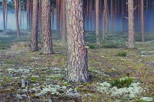 Pine autumn forest