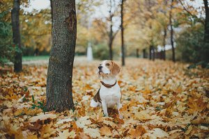 Beagle Dog on autumn leaves