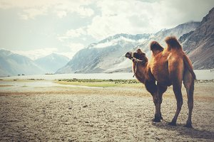 Double hump camel setting off on its journey in the desert in Nubra Valley, Ladakh, India (Vintage tone)