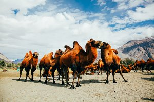 Group of double hump camels in the desert in Nubra Valley, Ladakh, India