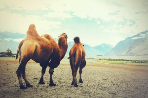 Double hump camels setting off on their journey in the desert in Nubra Valley, Ladakh, India (Vintage tone)