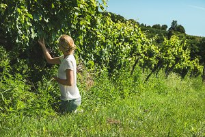 Lady squatting and picking grapes