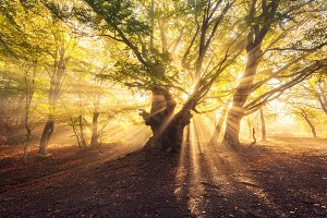 Magical old tree with sun rays