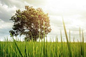 Big Tree in Natural Morning Sunshine