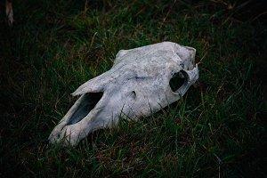 Head horse bones