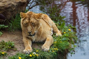 Lovely lioness outdoors