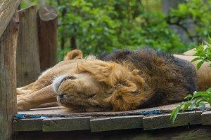Lovely lion resting