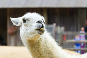 Llama lama smile