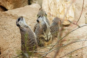 meerkats mongoose observing