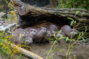 Lovely playful otters