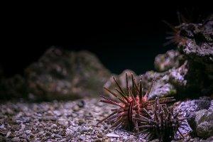 Sea Urchin at the Aquarium Vertical