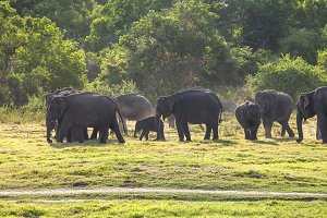 Herd of elephants at sundown