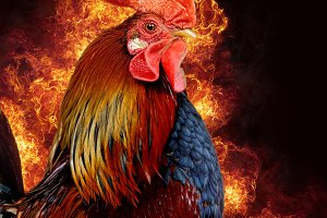 Red rooster in flame