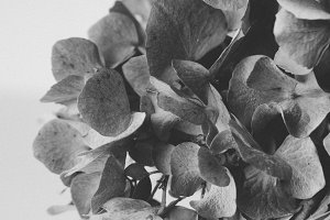 Black and White Hydrangea