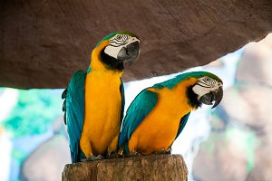 Two cute parrot Ara on tree