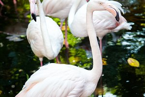 Group of pink flamingos at the zoo