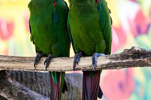 Two cute green parrots