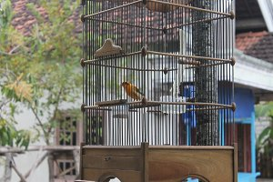 Canary Bird in Cage