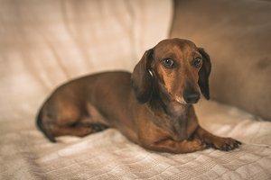Red mini dachshund dog