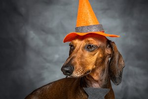 dog dressed funny halloween