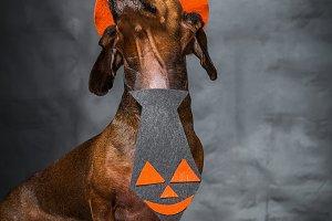dog dressed funny halloween