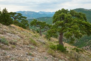 Summer pine tree on mountain slope