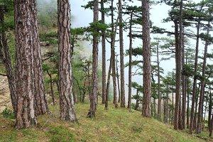 Summer pine tree on mountain slope