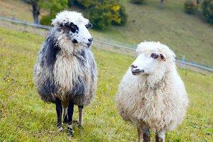 Mountain farm animals