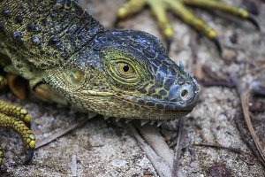 Close up of a green iguana head