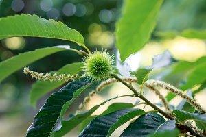 Green chestnut tree in summer