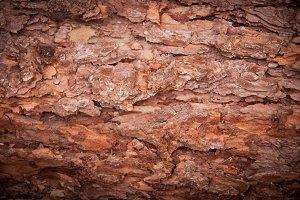 Wood texture - Pine tree