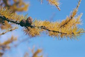 Fir Cones in Autumn Forest
