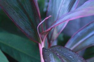 Aglaonema Leaf