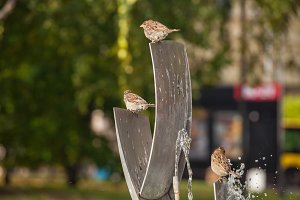 Sparrows at the fountain